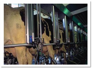 Dairy cattle 2 being milked