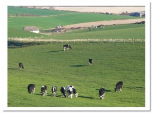Dairy cattle_on_green_with_border 1